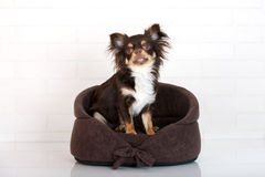 Brown chihuahua dog sitting in a pet bed Stock Photography