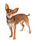 Brown Chihuahua Dog Standing Looking Forward. Cute little Chihuahua dog standing over white background looking forward into camera Royalty Free Stock Image