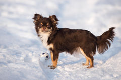 Brown chihuahua dog standing outdoors in winter Royalty Free Stock Image
