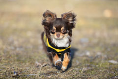 Brown chihuahua dog in a sweater running outdoors Royalty Free Stock Photography