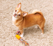 Brown chihuahua dog  with toy Stock Image