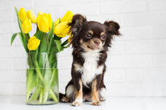 Brown chihuahua dog with tulips. Brown chihuahua dog posing indoors Stock Photography
