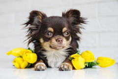 Brown chihuahua dog with tulips. Brown chihuahua dog posing indoors Stock Photos