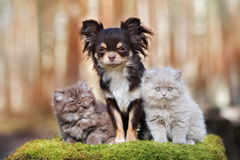Brown chihuahua dog with two fluffy kittens Stock Images
