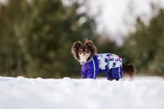 Brown chihuahua dog walking outdoors in winter Stock Photo