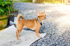 Brown Chihuahua. Brown female Chihuahua standing on the mat stock photos