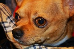 Brown chihuahua Stock Photos