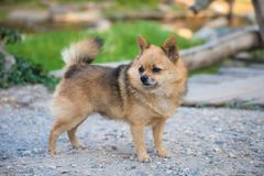 Brown Chihuahua Mixed breed dog is standing and looking to left side on home garden. Brown Chihuahua Mixed breed dog is standing and looking to left side on Stock Image