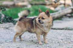 Brown Chihuahua Mixed breed dog is standing and looking to left side on home garden.  Royalty Free Stock Image