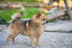 Brown Chihuahua Mixed breed dog is standing and looking to left side on home garden.  Stock Image