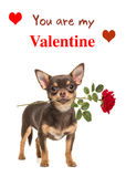Brown chihuahua pies z czerwieni różą i Wy jesteśmy mój walentynki tex Fotografia Royalty Free