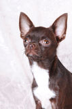 Brown chihuahua portrait Royalty Free Stock Photography