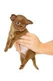 Brown chihuahua puppy royalty free stock images