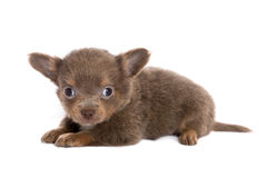 Brown chihuahua puppy lying down Stock Photos