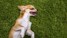 Brown Chihuahua puppy lying on grass Stock Photos