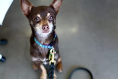 Brown Chihuahua Sitting and Looking Up at Camera. Miniature Pinscher mix, cute adult mutt rescue dog Royalty Free Stock Image