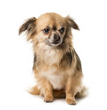Brown chihuahua sitting , royalty free stock image