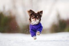 Brown-Chihuahuahund, der draußen in Winter läuft Stockfoto