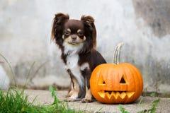 Brown-Chihuahuahund mit Halloween-Kürbis stockbilder