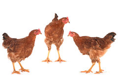 Brown chiken set Royalty Free Stock Photography