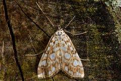 Brown china-mark (Elophila nymphaeata) micro moth Royalty Free Stock Image