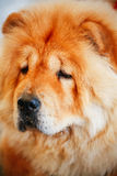 Brown Chines chow chow dog Stock Image