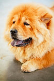 Brown Chines chow chow dog Royalty Free Stock Photo