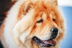 Brown Chines chow chow dog Stock Photo