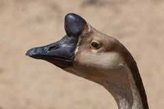 Brown Chinese Goose also known as Swan Goose Stock Image