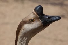Brown Chinese Goose also known as Swan Goose Royalty Free Stock Photo