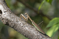 A Brown Chinese Preying Mantis Sitting On A Branch Royalty Free Stock Image