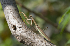 A Brown Chinese Preying Mantis Walking Up A Branch Stock Photos