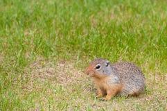 Brown chipmunk Royalty Free Stock Image