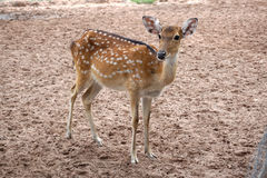 Brown chital deer standing in the farm Royalty Free Stock Images