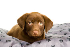 Brown Chocolate Labrador Puppy On A Grey Pillow Royalty Free Stock Photo