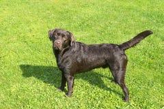Brown Chocolate Labrador retriever. Dog on the green grass.  Stock Photography