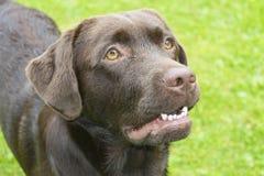 Brown Chocolate Labrador retriever. Dog on the green grass.  Royalty Free Stock Photos