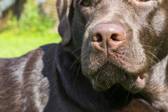 Brown Chocolate Labrador retriever. Dog on the green grass. Dog nose. Brown Chocolate Labrador retriever. Dog on the green grass. Dog nose Royalty Free Stock Photography