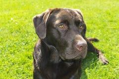 Brown Chocolate Labrador retriever. Dog on the green grass. Dog nose. Brown Chocolate Labrador retriever. Dog on the green grass. Dog nose Stock Photo