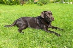 Brown Chocolate Labrador retriever. Dog on the green grass. Dog nose.  Royalty Free Stock Image