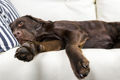 Brown chocolate labrador retriever dog is sleeping on sofa with pillow. Sleeping on the couch. Young cute adorable tired labrador. Retriever dog Stock Photos