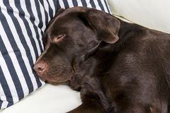 Brown chocolate labrador retriever dog is sleeping on sofa with pillow. Sleeping on the couch. Young cute adorable tired labrador. Retriever dog Royalty Free Stock Image