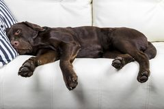 Brown chocolate labrador retriever dog is sleeping on sofa with pillow. Sleeping on the couch. Young cute adorable tired labrador. Retriever dog stock photo
