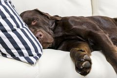 Brown chocolate labrador retriever dog is sleeping on sofa with pillow. Sleeping on the couch. Young cute adorable tired labrador. Retriever dog. Dog nose close Royalty Free Stock Photography