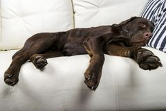 Brown chocolate labrador retriever dog is sleeping on sofa with pillow. Sleeping on the couch. Young cute adorable tired labrador. Retriever dog. Dog nose close Stock Image