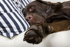 Brown chocolate labrador retriever dog is sleeping on sofa with pillow. Sleeping on the couch. Young cute adorable tired labrador. Retriever dog. Dog nose close Royalty Free Stock Photos