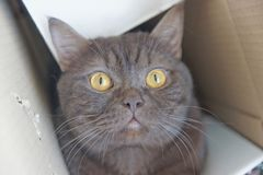 Brown chocolate Scotty straight cat climbed into a narrow cardboard box and peeks out of it. Brown chocolate Scotty straight cat climbed into a narrow cardboard Stock Images