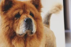 Brown Chow Chow Stock Images