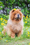 Brown chow chow dog Royalty Free Stock Images