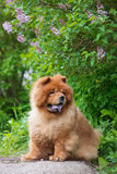 Brown chow chow dog Royalty Free Stock Photo